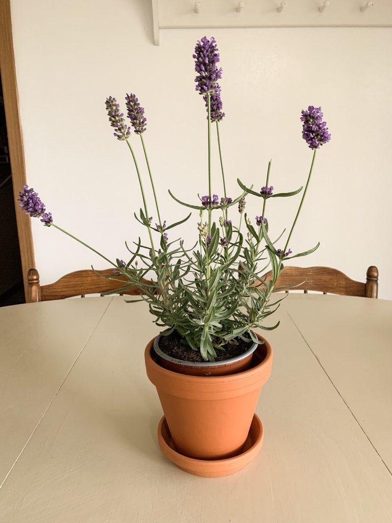 Potted Lavender Plant: A Minimalist Birthday